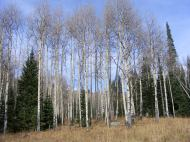 Aspen forest beneath the Anthracite Range