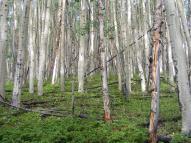 Aspen forest in Slaughterhouse Gulch