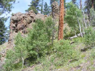 Ponderosa and aspen growing on a slope above Elk Creek