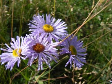 Asteraceae in Second Meadows