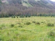 Cattle within the West Elk Wilderness