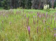 A meadow filled with Elephant's Head, Pedicularis groenlandica