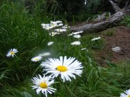 The forest floor near Dipping Lakes covered with a species of aster