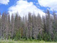 Near Third Meadows on Elk Creek, beetle killed forest