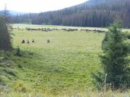 Cowboys rounding up the herd in Second Meadows