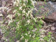 General growth of unknown shrub in Second Meadows