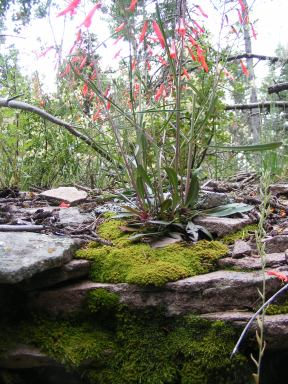Penstemon spp. on a rocky outcropping in the southern San Juan Mountains