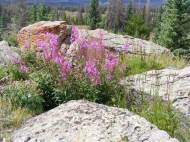 Fireweed, Chamerion spp., on the mesa near the southeastern end of the Valle Victoria Trail