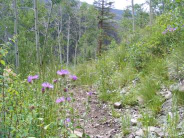 Purple Asteraceae on the Notch Trail