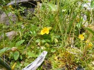 Possibly Mimulus spp. on the bank of Elk Creek