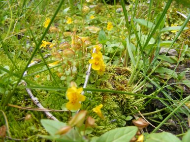 If this is Mimulus spp. then it has been moved to Phrymaceae