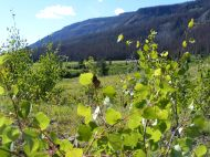 Aspen saplings near camp in Second Meadows