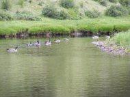 Canadian geese on Elk Creek in First Meadow