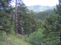 Ponderosa forest on Elk Creek in the southern San Juan Mountains
