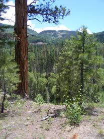 The ponderosa forest near the low end of Elk Creek Trail in the southern San Juan Mountains