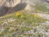Alpine sunflowers, Hymenoxys grandiflora on the ridge at the head of Silver Creek