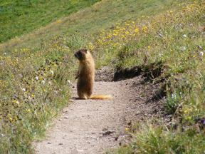 A marmot on the Silver Creek Trail