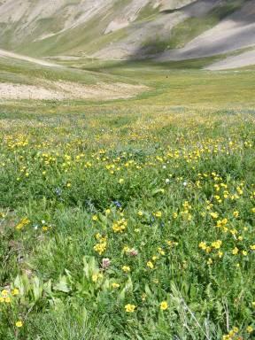 Alpine wildflowers in abundance in Silver Creek