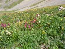 Alpine Wildflowers along the Silver Creek Trail