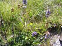 Purple mystery flower near North Clear Creek Falls, perhaps a Penstemon spp.