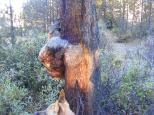 A burled lodgepole pine