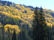 Aspen forest changing with the seasons, near Poverty Gulch