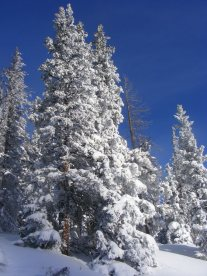 Recently loaded snow on conifers adjacent to the road leading up to old Monarch Pass