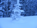 Spruce sapling encrusted in snow