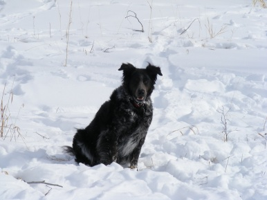 Lady Dog sits in the snow about East Elk Creek