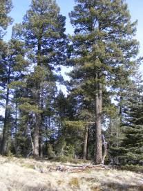 Douglas fir along the Stultz Trail