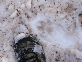 Coyote track in the snow