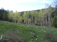 Aspen grove in upper East Bull Gulch