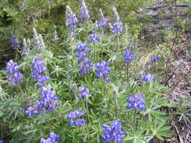 Lupinus spp. in East Elk Creek