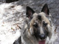 Sheba the shepherd at Lamphier Lake