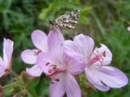 Sticky geranium at the trailhead