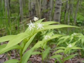 Maianthemum stellatum Formerly thought to be part of Liliaceae some consider it to be Asparagaceae