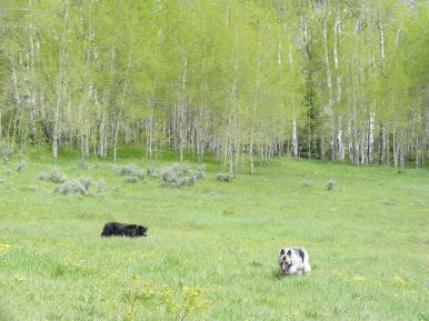 Lady Dog and Sheba cruising through a meadow on Lion Gulch