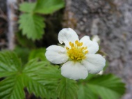Fragaria spp. on Lion Gulch