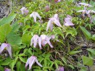 Clematis vine on Lion Gulch Trail