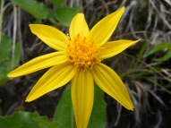 An Arnica on the Lion Gulch Trail