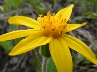 Arnica spp. part of Asteraceae