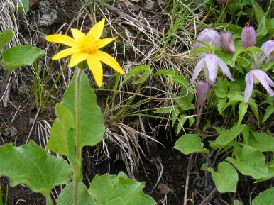 Arnica and Clematis together on the Lion Gulch Trail