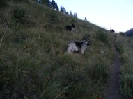 Sheba on a grassy slope at sundown above the Second Meadows