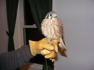 An American kestrel on my hand
