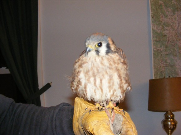 An American Kestrel, Falco sparverius, trained for falconry