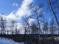 Aspen boles stark against the Fall sky