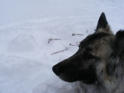 Sheba resting in the snow on Gold Creek