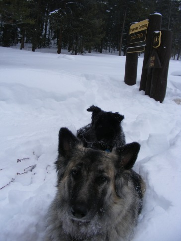 Sheba and Lady Dog resting in the snow near Gold Creek Campground