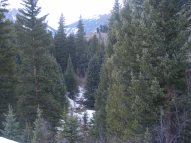 The coniferous forest on Mill Creek
