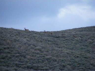 Mule deer seen in the sagebrush about the Hinkie Road